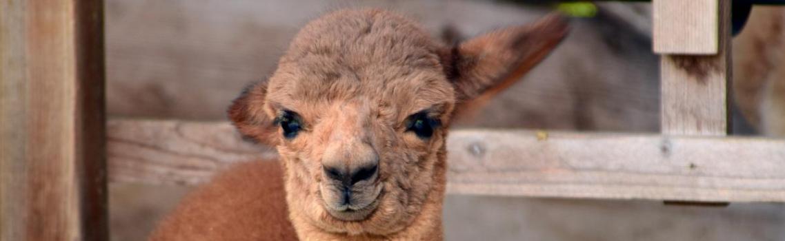 Wormbesmetting bij Alpaca's