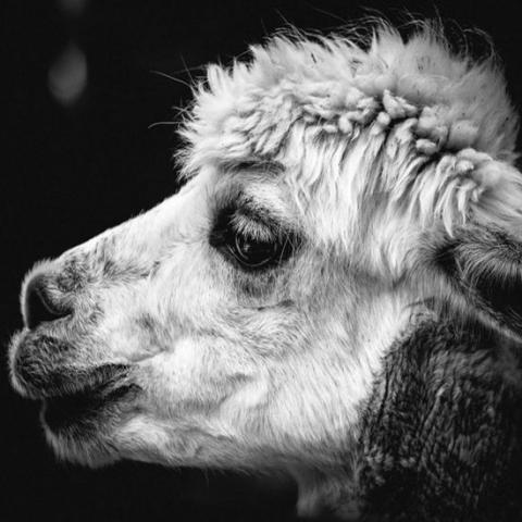 alpaca onderzetter