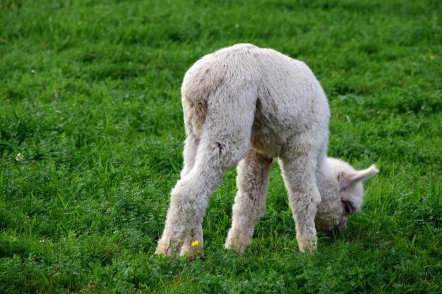 Voeding voor Alpaca's