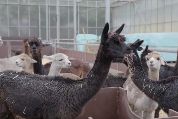 Alpacatracker - voor het voorkomen van diefstal