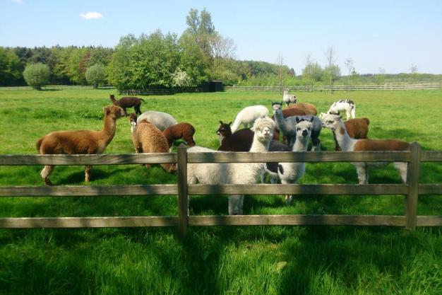 Clickertraining bij alpacas