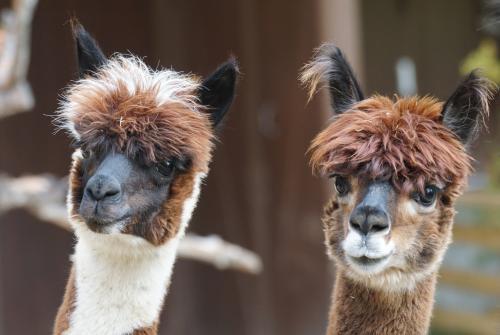 Tips voor het wandelen met alpaca's